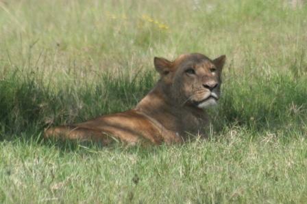 Lion Number 1