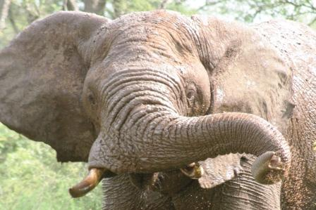 A Frican Elephant - geddit Victoria??